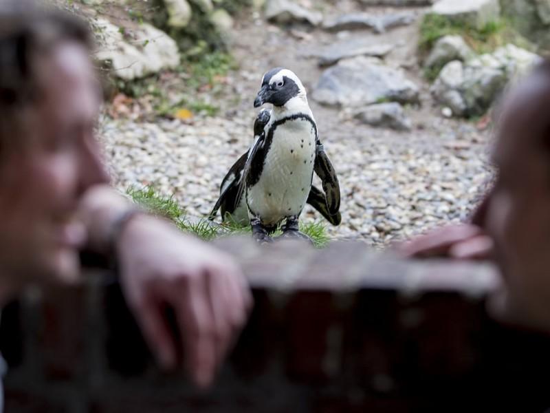 Koppel wazig in de voorgrond, daarachter staat een Pinguïn. Foto Karin Keesmaat