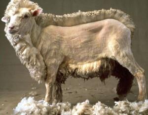 Geschoren schaap wol voor maatpak